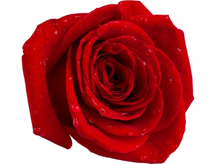 red rose with water droplets isolated on a white background