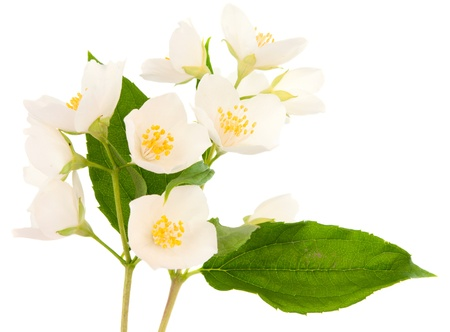Jasmine isolated on white background photo