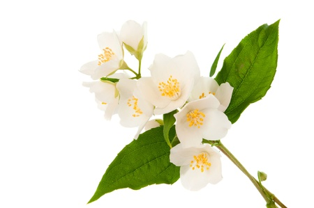 Jasmine isolated on white background Stock Photo - 13640272
