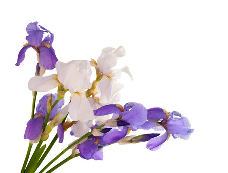 iris bouquet isolated on white background Stock Photo - 13698244
