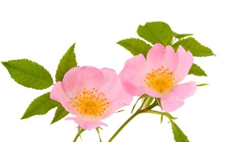 roze: Flower hips isolated on white background Stock Photo