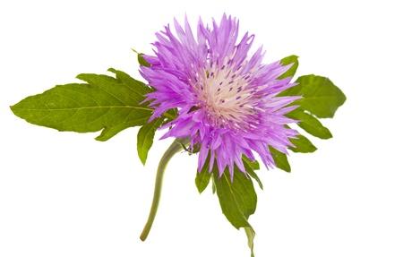 centaurea: Purple Cornflower isolated on white background