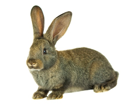 白い背景上に分離されて灰色のウサギ