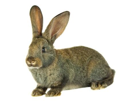 conejo: conejo gris sobre fondo blanco