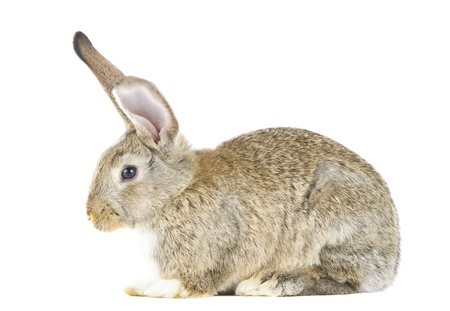 rabbit isolated on white background photo