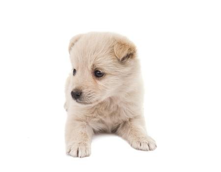 puppy isolated on white background photo