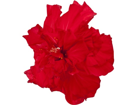 Red Hibiscus on white background photo