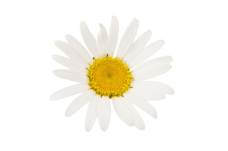 bl: daisy on a white background