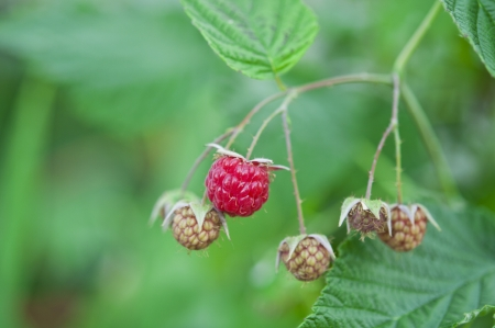 Raspberry growing in the garden photo