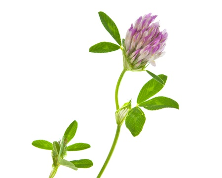 clover isolated on white background Stock Photo - 14040256