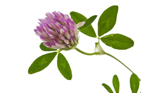 clover isolated on white background photo