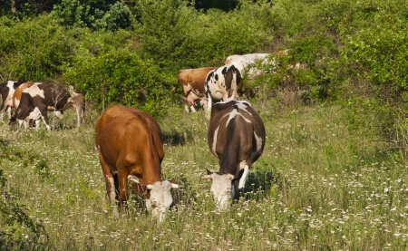 Cows graze in the meadow photo