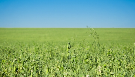 Peas growing in a field photo
