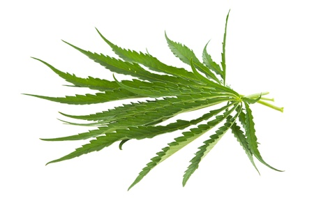 cannabis isolated on white background Stock Photo - 14074417