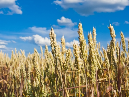 Golden, ripe wheat in the blue sky background. Stock Photo - 14108400