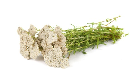 Yarrow herb isolated on white background photo