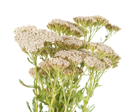 Yarrow herb isolated on white background Stock Photo - 14108391