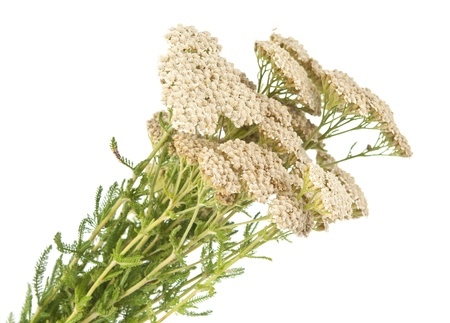 Yarrow herb isolated on white background Stock Photo - 14108392