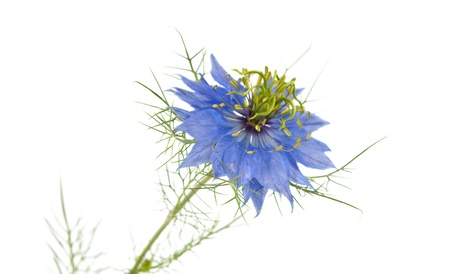 Cornflower isolated on white background photo