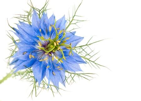 Cornflower isolated on white background photo