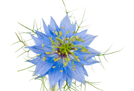 bachelor s button: Cornflower isolated on white background