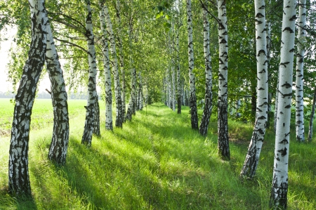 白樺の森。バーチ グローブ。白樺の幹。日当たりの良い森の春。