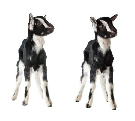 ittle: ittle goat isolated on white background Stock Photo