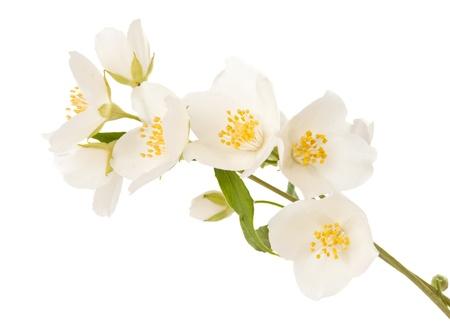 jasmine bush: jasmine twig isolated on white background Stock Photo