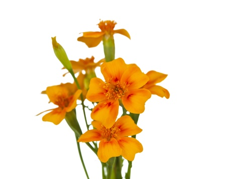 marigold flower on a white background photo