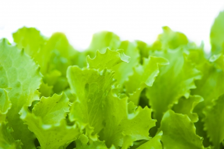 green lettuce isolated on white background photo