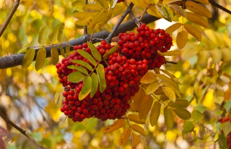 bunch of rowan tree in the autumn photo