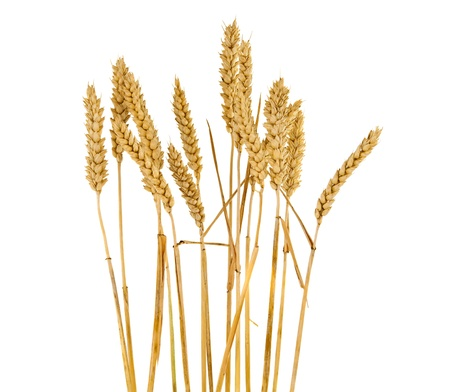 白い背景に分離された小麦の穂 写真素材
