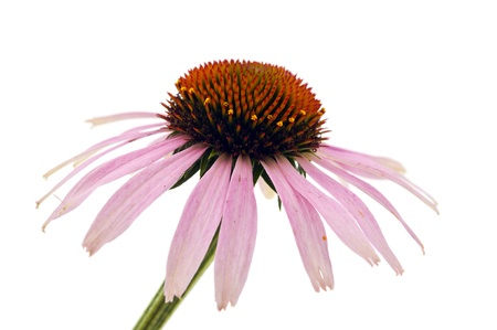 Echinacea on a white background photo