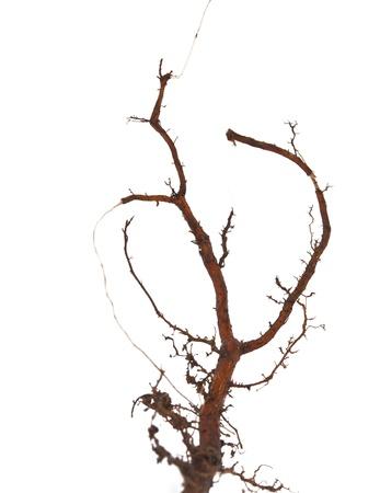 Oak root isolated on white background photo