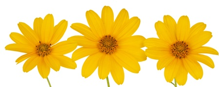 yellow flower isolated on white background photo