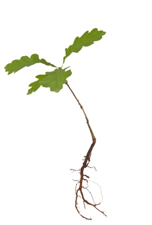 black and white plant: Oak tree with roots isolated on a white background