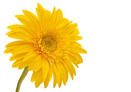daisy flower: Beautiful daisy gerbera flower isolated on white background