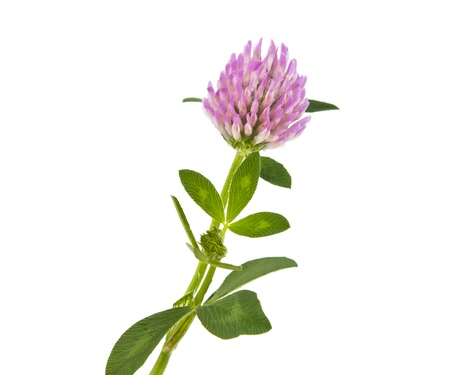clover isolated on white background Stock Photo - 15504857