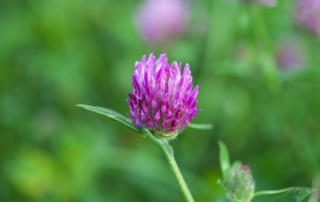 clover grow in the meadow photo