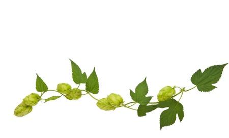 Hopfen-Anlage twined Weinstock, isolieren, jungen Blätter auf weißem