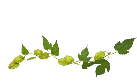 hops plant twined vine, young leaves isolate on white Stock Photo - 15312207