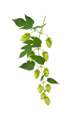 hop isolated on white background Stock Photo - 15312175