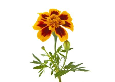 marigold flowers isolated on white background Stock Photo - 15362933