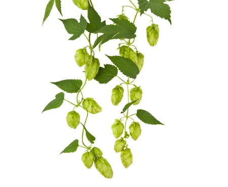 twined: hops plant twined vine, young leaves isolate on white