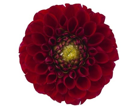 georgina: Red dahlia isolated on a white background