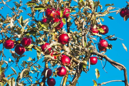 apple tree with red apples on a background of blue sky photo