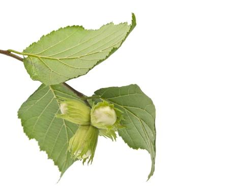 corylus: green hazelnuts isolated on white background Stock Photo