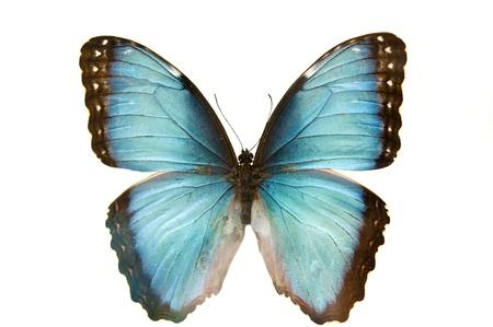 mariposa azul: cerca disparo macro de una mariposa azul aislado en un fondo blanco Foto de archivo