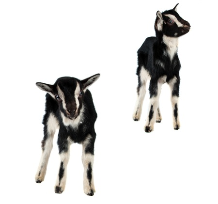 pygmy goat: black goat isolated on white background