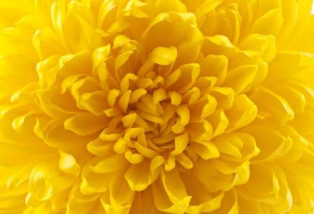 dahlia flower macro studio shot Stock Photo - 15822684